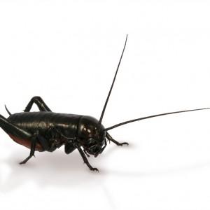 black-cricket